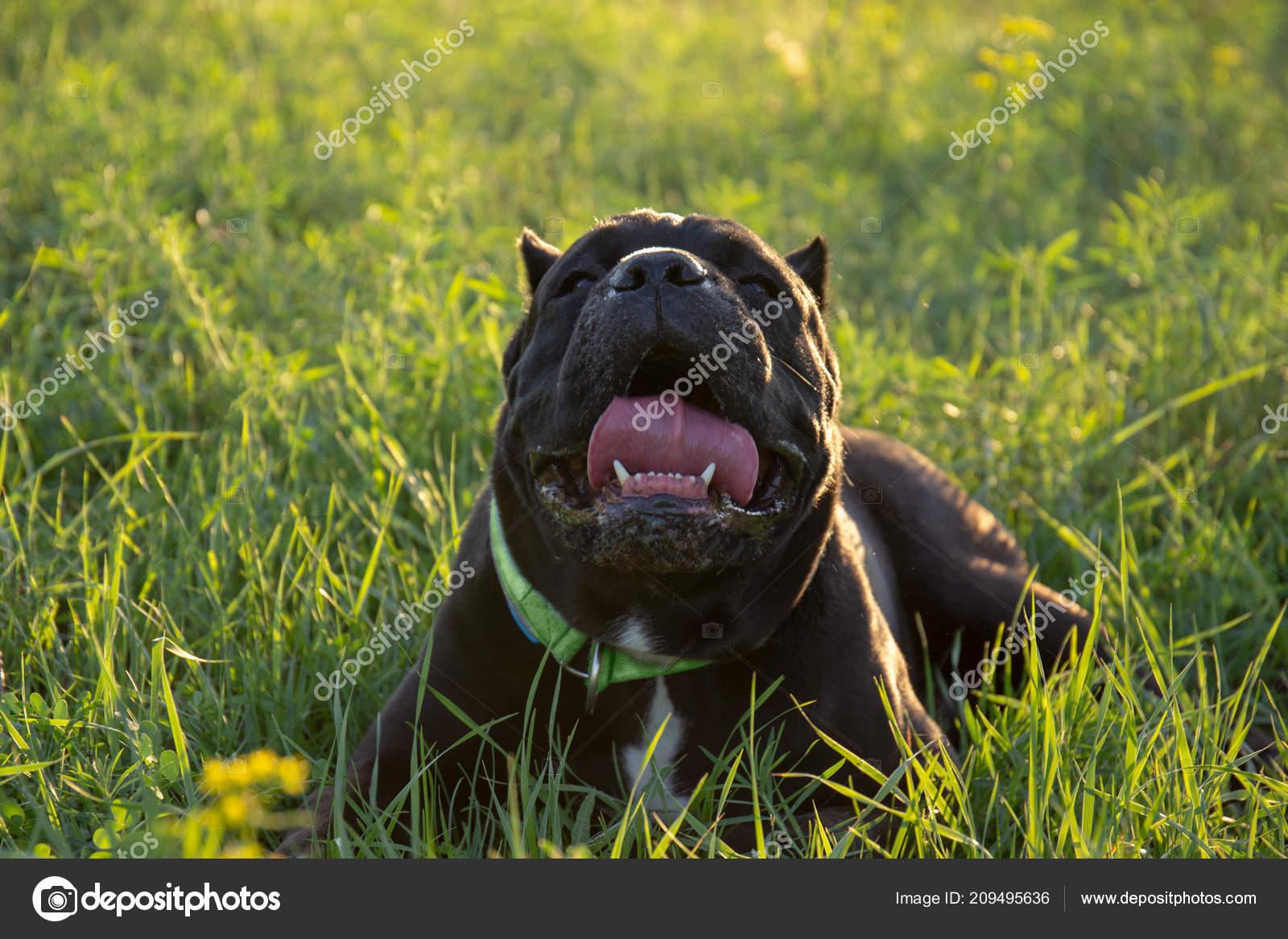 Heat Stroke Dog Male Black Purebreeded Cane Corso Cropped Ears