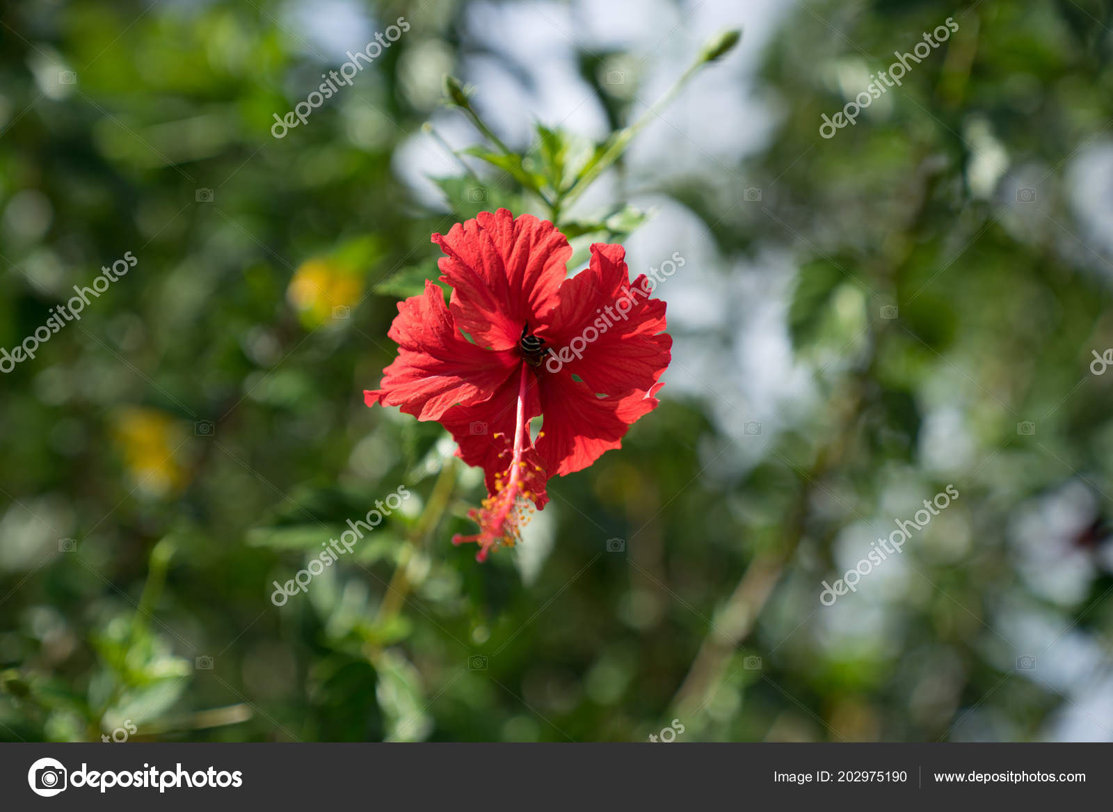 Close View Red Hibiscus Flower Shoe Flower Green Leaves Bokeh