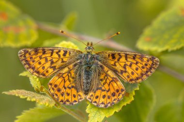 Cranberry Fritillary (Boloria aquilonaris) warming wings in morning sun. This is a critically endangered species of butterfly in the Netherlands