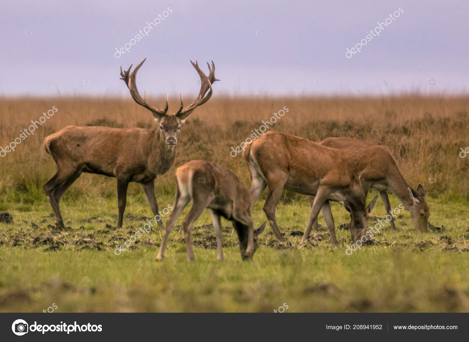 Red Deer Male Cervus Elaphus Guarding Group Female Animals