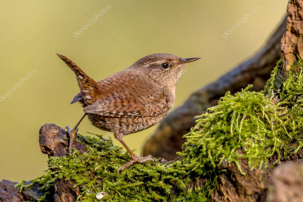 Eurasian Wren (Troglodytes troglodytes) perched on mossy log with green background