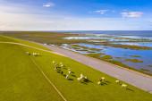 Letecký pohled na ovce pasoucí se na mořské hrázi v blízkosti národního parku Tidal Marshland a oblasti světového dědictví UNESCO Waddensea v provincii Groningen. Nizozemsko