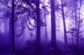 Magic fialové barevné ráno foggy lesní krajina