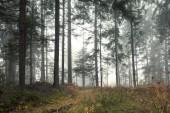 Fotografie Krásné ráno zamlžených lesních stromů na šířku