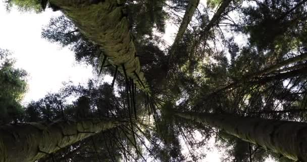 Tall conifer trees and sky in forest