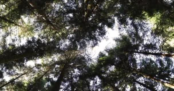 Tall conifer trees with backlit in forest