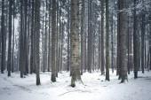 Sníh v krajině stromů jehličnatých lesů