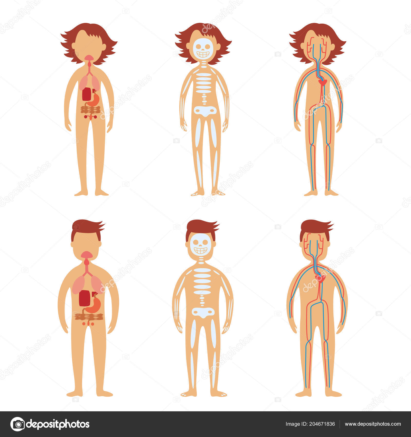 Human Internal Organs In Male And Female Bodies Set Stock Vector