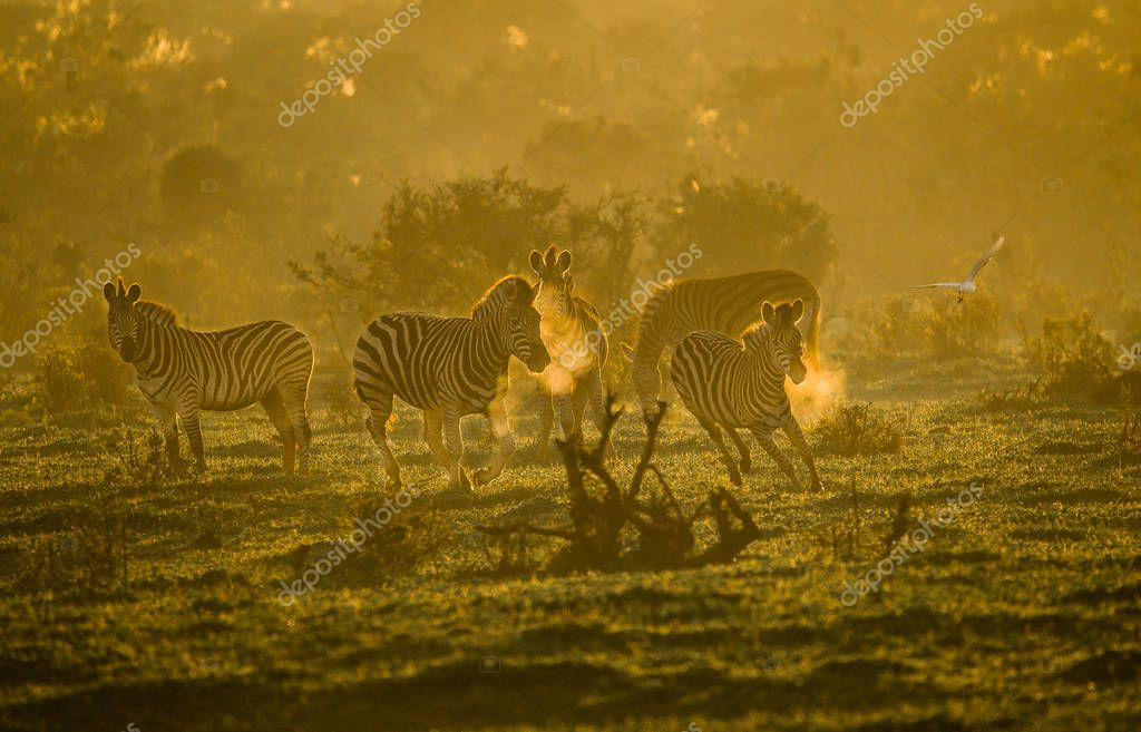 Early morning exercise on a cold winters dawn. A group of Zebra's in the golden light of sunrise in the Addo Elephant National Park, South Africa
