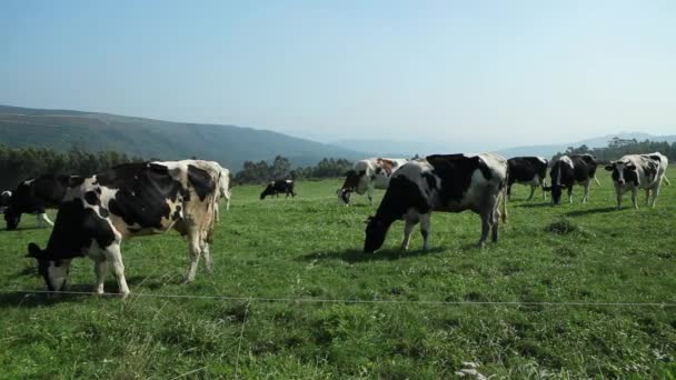 Cows Grazing in Mountain Meadow
