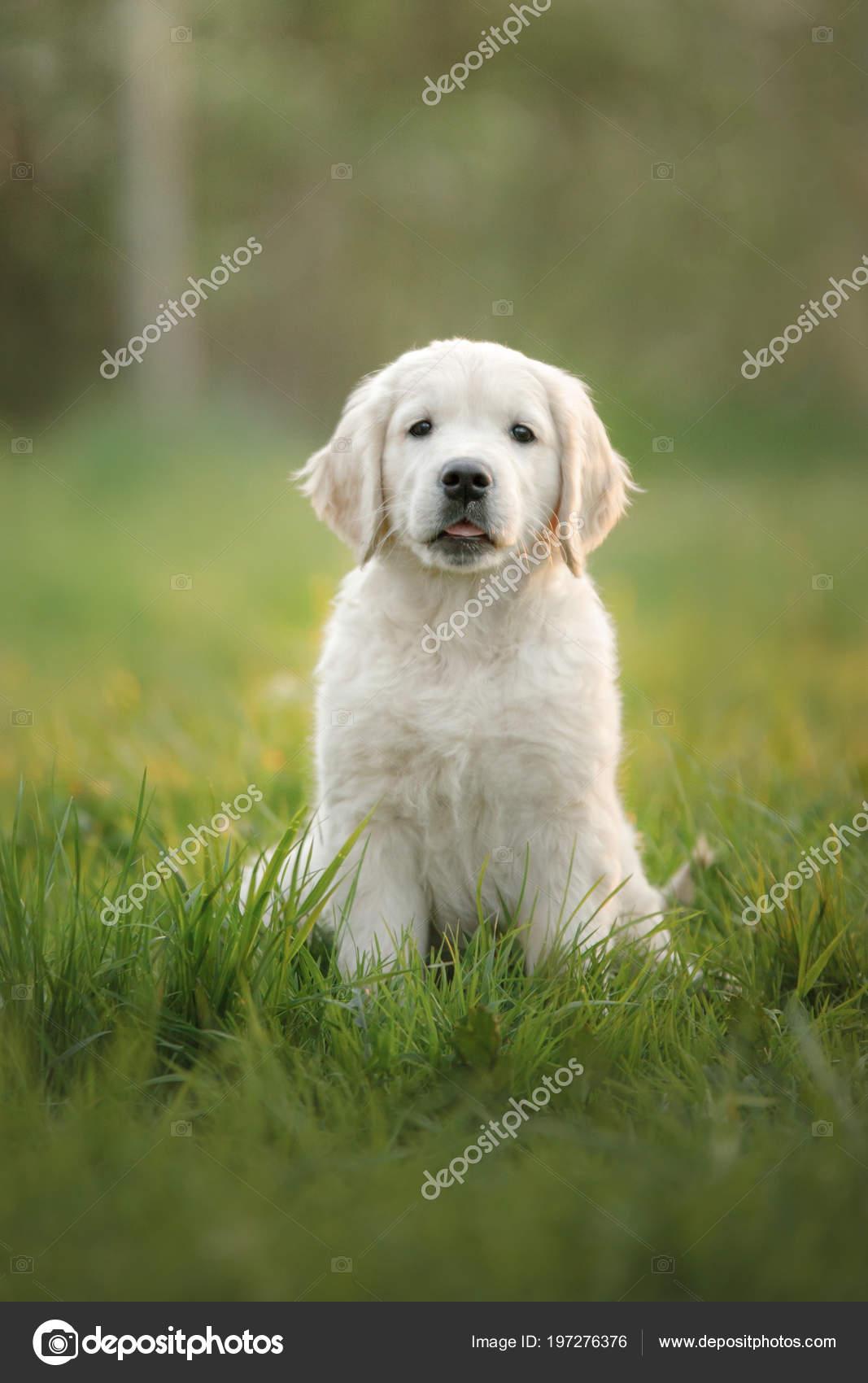 Golden Retriever Puppy Runs On Grass And Plays Stock Photo