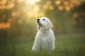 Zlatý retrívr štěně běží na trávě a hraje