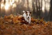 dog in the autumn leaves running in the Park. Funny and cute Jack Russell Terrier