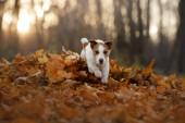 pes v podzimní listí v parku. Zábavný a roztomilý Jack Russell Terrier