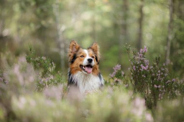 Dog in the woods in the heather. Cute border collie on nature. Walk with your pet