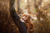 red dog in the autumn on the nature. Nova Scotia Duck Tolling Retriever