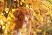 Pes v parku na podzim. Nova Scotia Duck Tolling retrívr, barevné listy