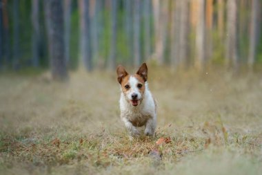 red and white dog runs in a pine forest. little active jack russell plays in nature.