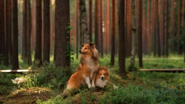 two dogs together in forest. Shelties lie on the moss.