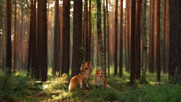 dva psi pohromadě v lese. Sheltie leží na mechu.