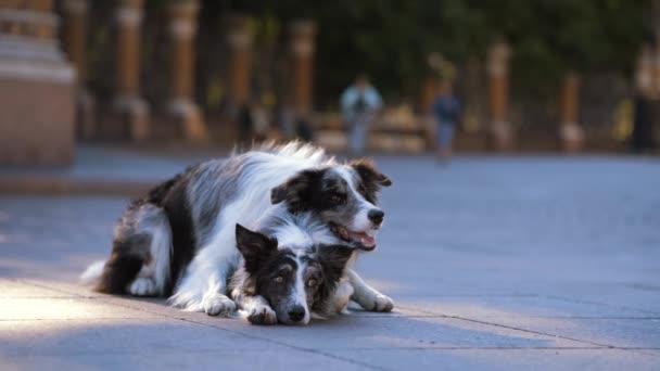 zwei Hunde in der Stadt. Marmor-Border-Collie auf dem Asphalt
