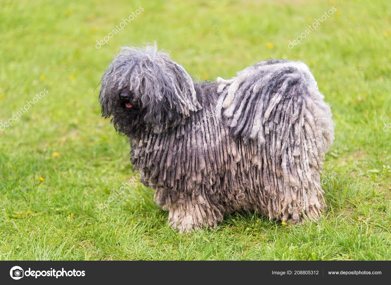 Gray Hungarian Puli Dog Green Park ...
