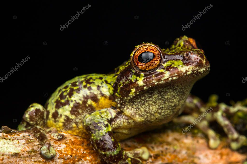Macro image of detail frog in deep jungle at Borneo Island