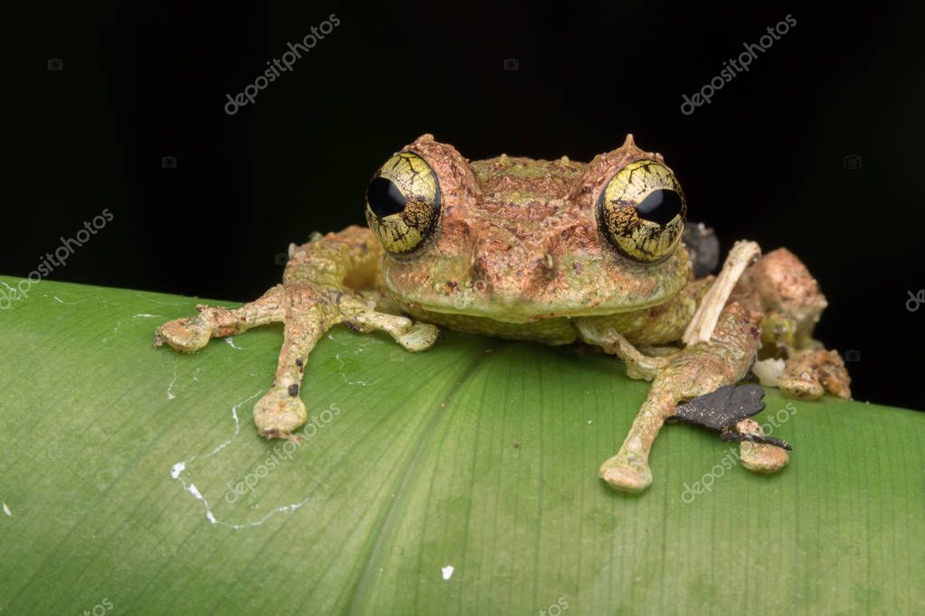 Macro Image of Mossy Tree Frog: Rhacophorus everetti. Sabah, Borneo. Taken at night , Adorable cute mossy tree frog of Borneo