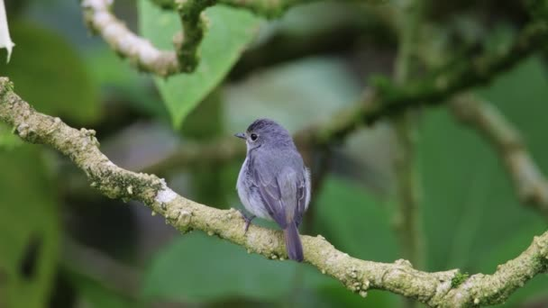 Nature Beautiful bird standing on tree brunches , 4K Footage of Nature wildlife bird species of Little Pied Flycatcher which is found in Borneo, Sabah,Malaysia.