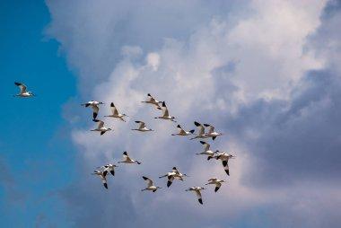 Band of avocet birds in the lagoon of Fuente de Piedra in Malaga, Spain.