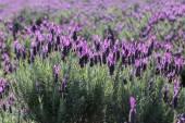 Australský světle fialové levandule pole