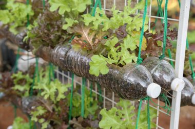 Growing lettuce in used plastic bottles, vegetables in used plastic bottles, reuse and recycle eco concept.