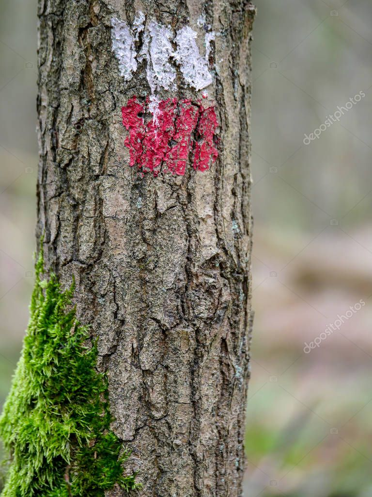 Tree with a red and white marking indicating the correct direction of the long distance walking path in Europe. Moss grows on the side of the tree.