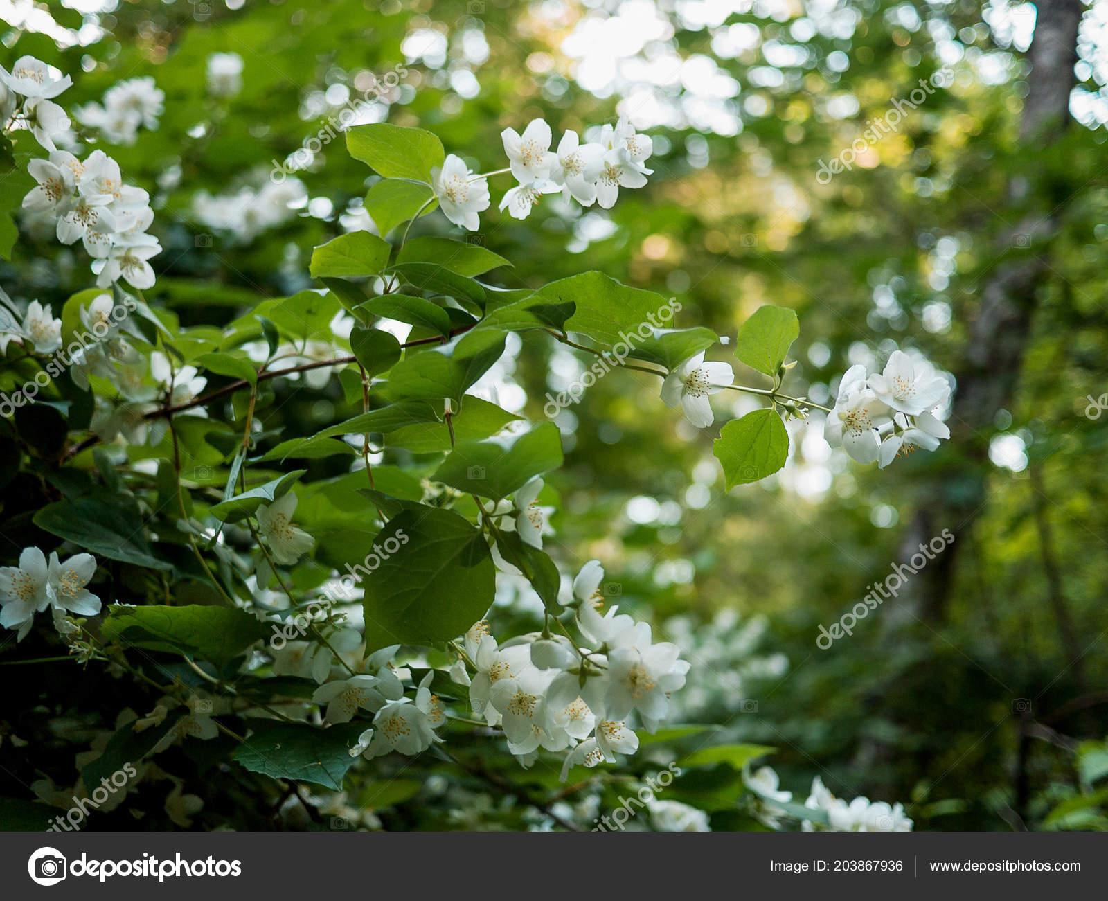 Jasmine Flower Growing Tree Mariyaporshbk 203867936