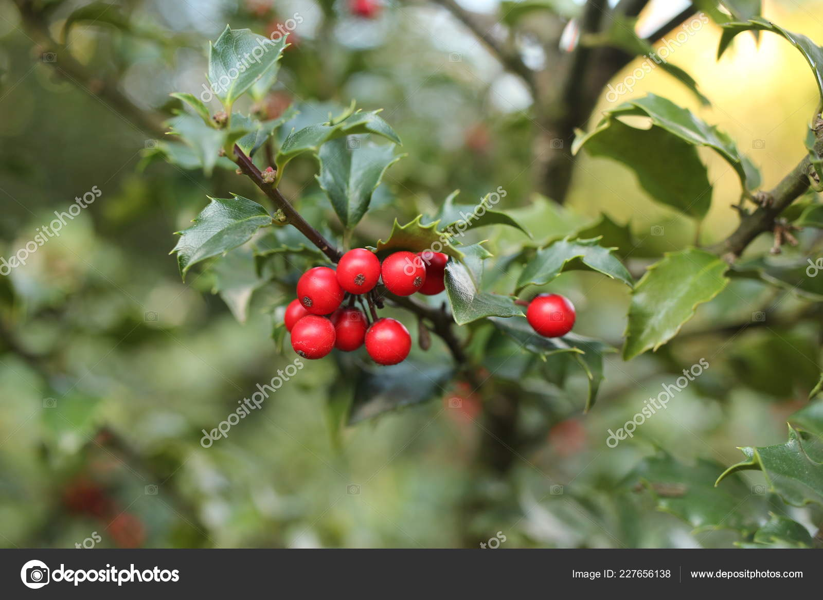 Christmas Holly Tree.Pictures Holly Trees Red Berries Holly Tree Common Holly