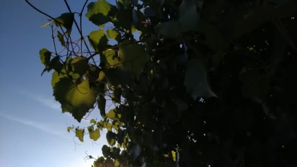 grüne Blätter der Linde, die von der Sonne beleuchtet werden. sonniger Tag Outdoor-Aufnahmen an Sommertagen.