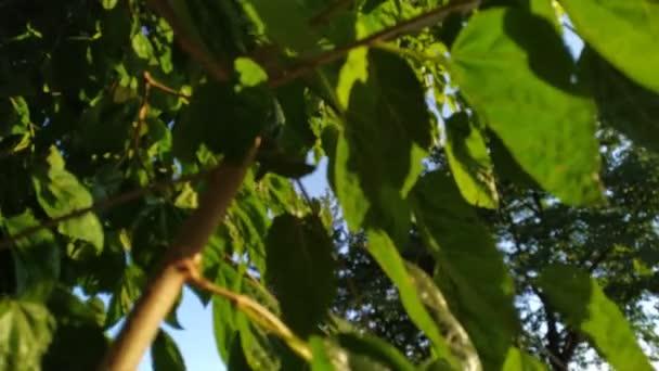 grüne Blätter der Linde Blick nach oben. sonniger Tag Outdoor-Aufnahmen an Sommertagen.