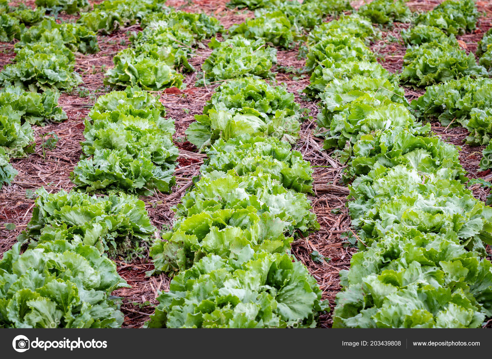 Rows Iceberg Lettuce Growing Outdoors Farm Field Jamaica Stock