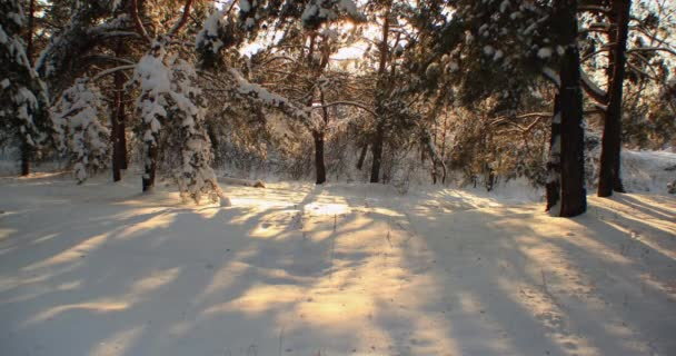 4K timelapse Shadows from trees move at sunset in the winter forest.