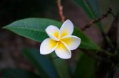Frangipani, plumeria flower with white and yellow petals and dark green leaves