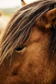 Brown Icelandic horse. Close up