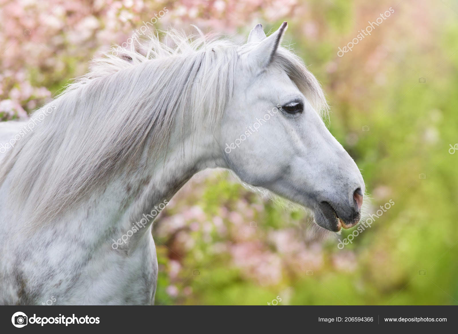 White Horse Portrait Spring Pink Blossom Tree Stock Photo C Kwadrat70 206594366