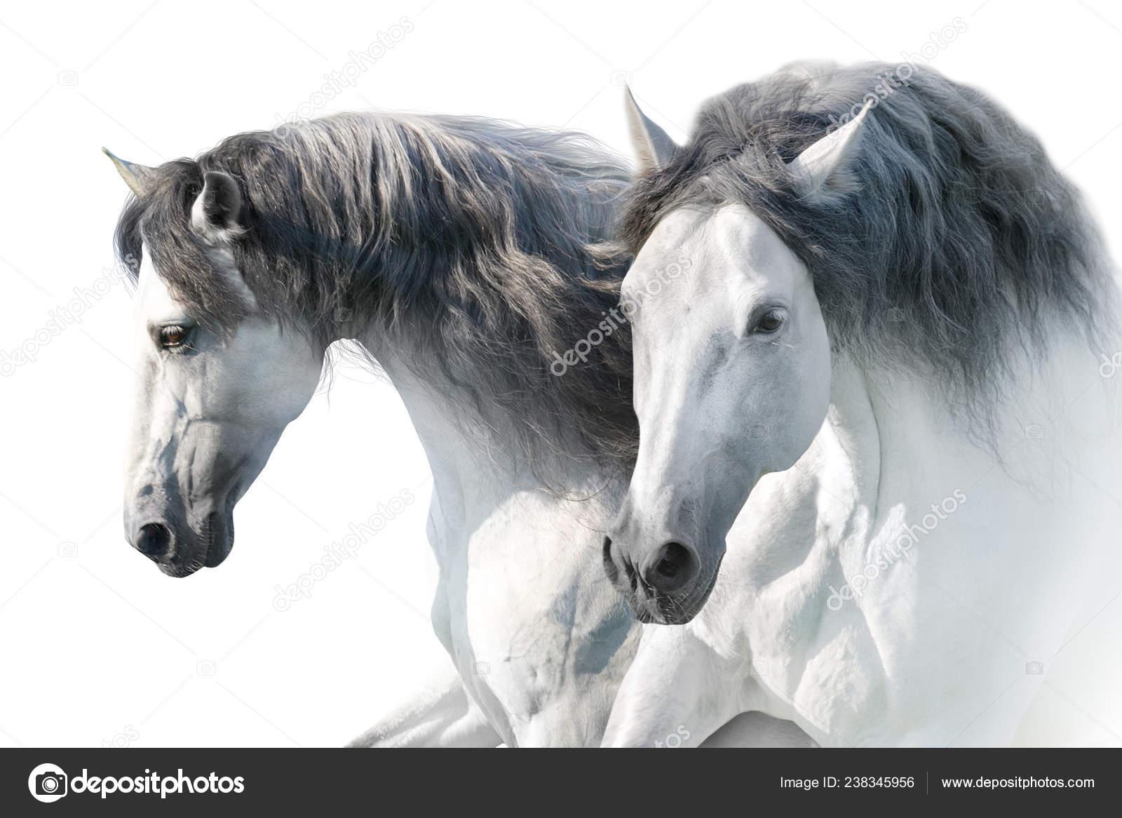 Two White Andalusian Horse Portrait White Background High Key Image Stock Photo C Kwadrat70 238345956