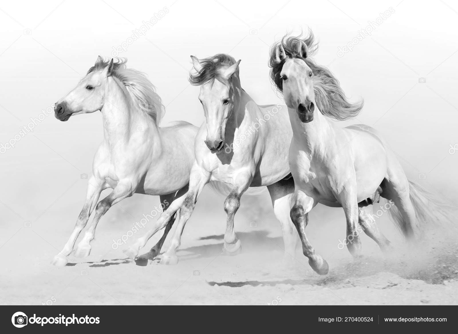 Three White Horse Run Gallop Desert Dust Black White Stock Photo C Kwadrat70 270400524