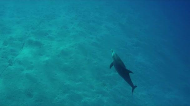 Delfín plavání klidně přes oceán světlá