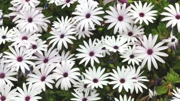 A százszorszépek fehér virágainak párterre.