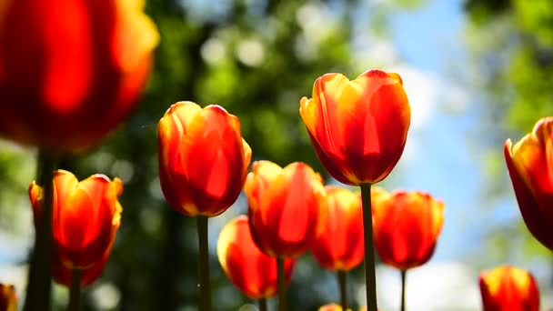 A tulipánok a parkban lassan ingadoznak a szélben.