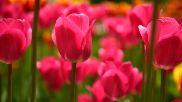 Tulipány v parku se pomalu kymácejí ve větru