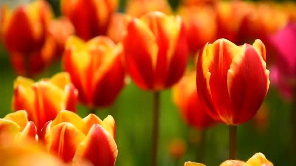 tulipány ve větru ve slunečném počasí v parku