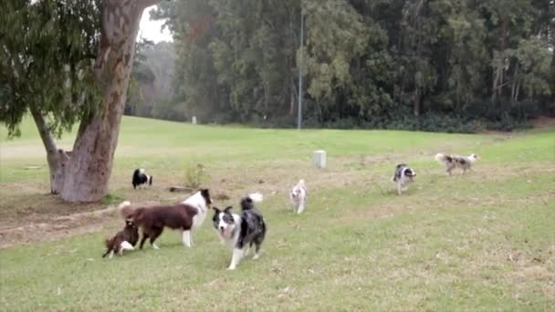border collies dogs pets playing